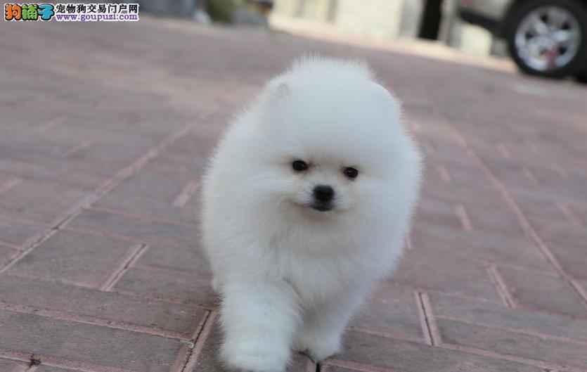 专业狗舍 哈多利超小体博美 英系博美 俊介出售中
