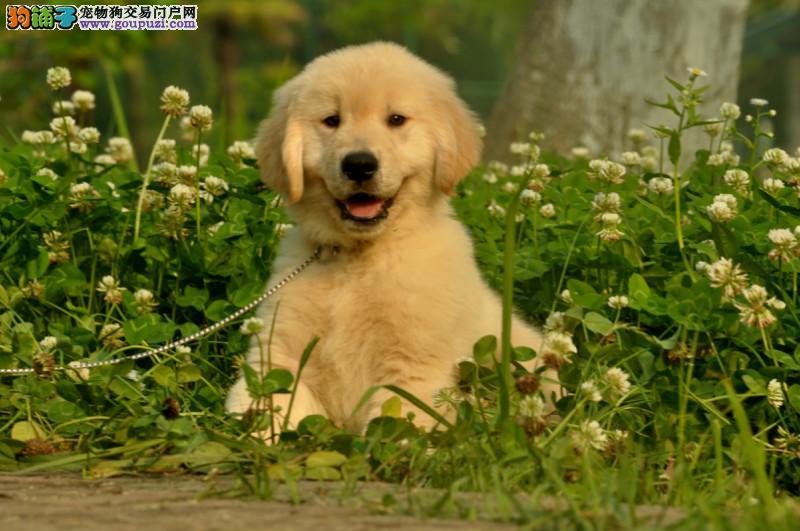金毛幼犬 宽嘴大头黄金猎犬金毛犬 毛色均匀品相好
