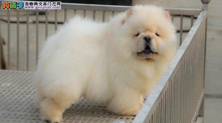 狗场繁殖出售精品松狮幼犬 保品质保健康保纯种