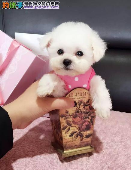 极品泰迪犬 保证健康 保证纯种 疫苗齐全
