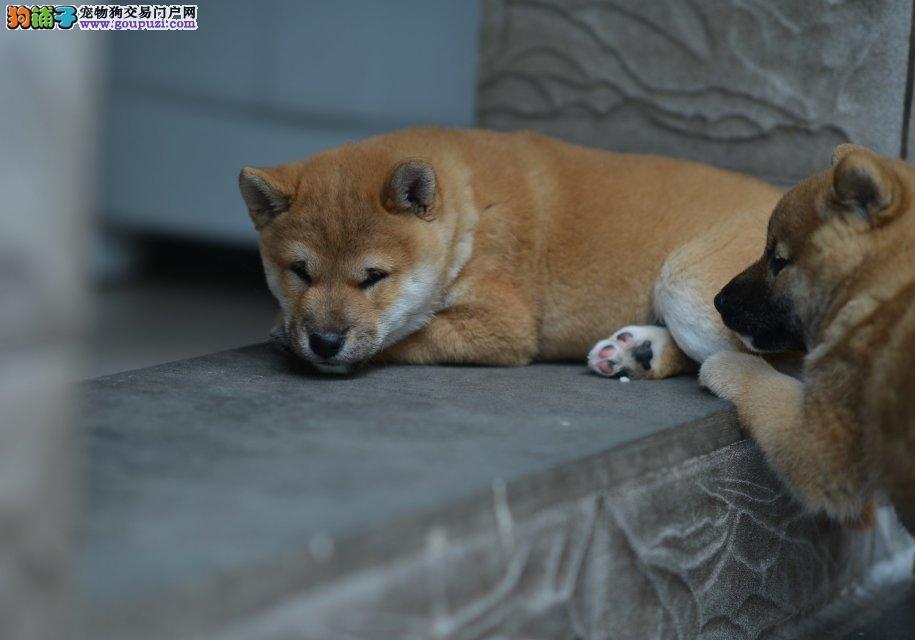 出售精品柴犬、包纯种·保健康·签协议