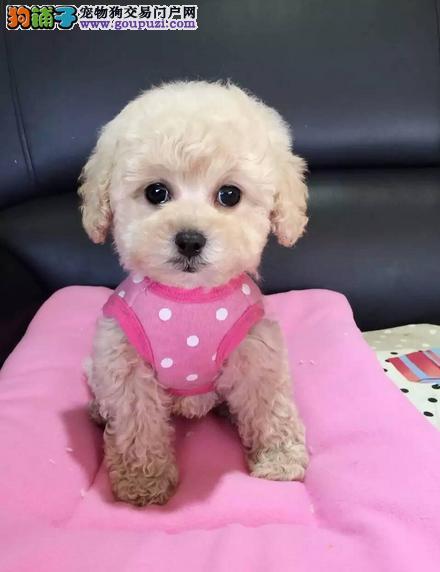 来场挑选狗可视频看狗、纯种可爱泰迪熊、签订质保协议