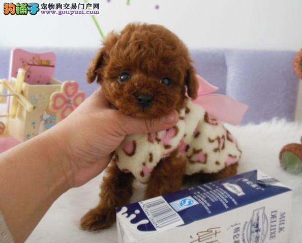 精品纯种柯基犬宝宝出售 品相完美 健康纯种 价格优惠