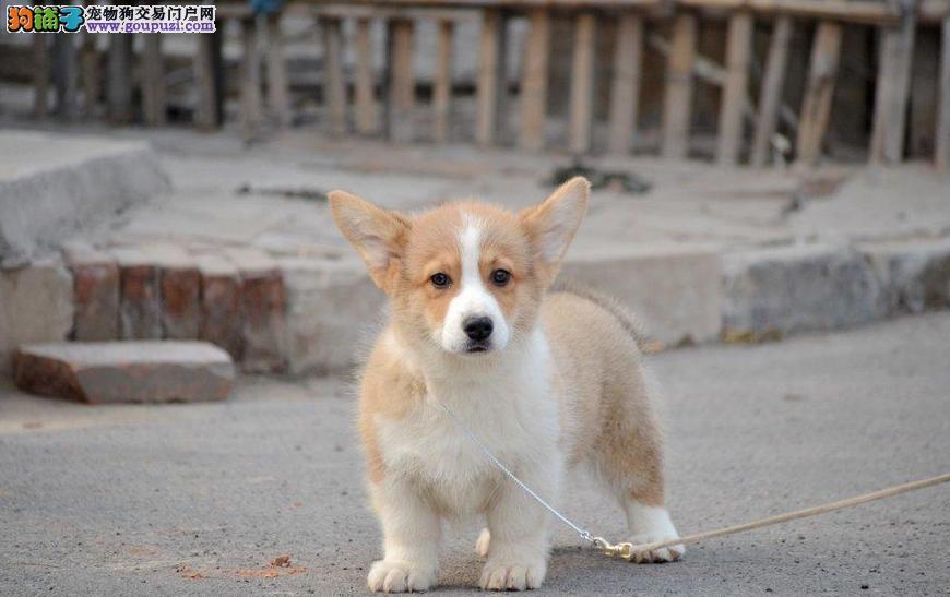 帅气小短腿柯基犬出售 专业养殖品相极佳柯基幼犬