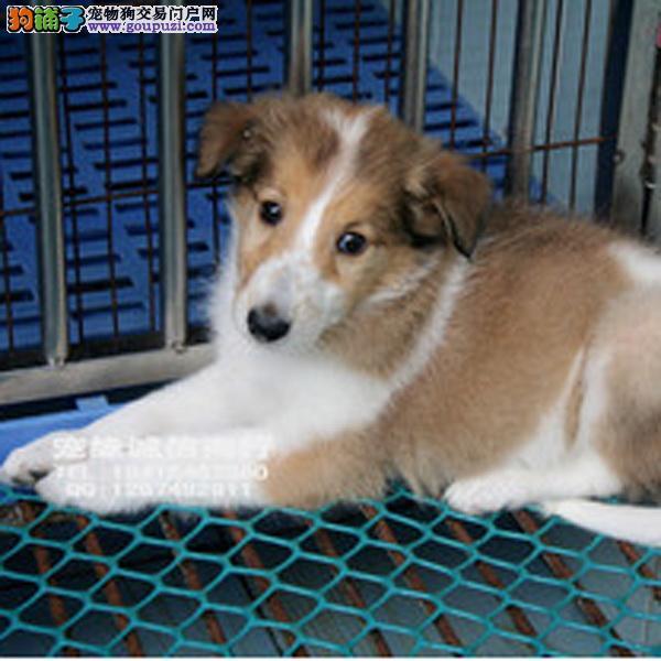 cku认证犬舍出售极品 签协议保健康