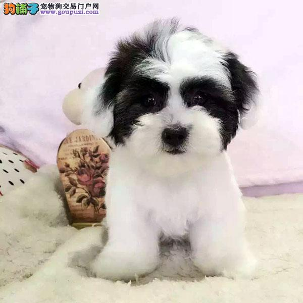 cku认证犬舍出售高品质 泰迪签协议证件齐全
