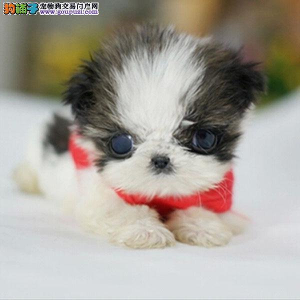 cku认证犬舍出售高品质 西施犬签协议证件齐全