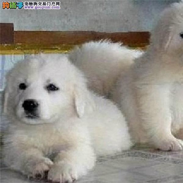 百业名犬 繁育高品质大白熊包纯种健康全国当天到货
