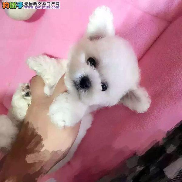 cku认证犬舍出售高品质 比熊签协议证件齐全