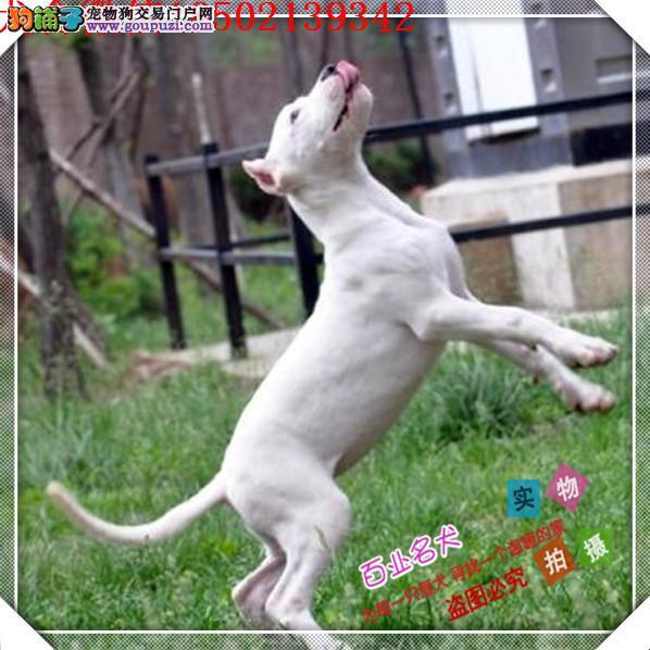 百业名犬繁育高品质杜高包纯种健康全国当天到货