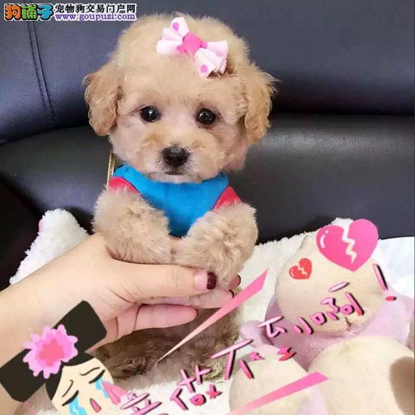 百业名犬专业繁育高品质泰迪包纯种健康全国当天到货