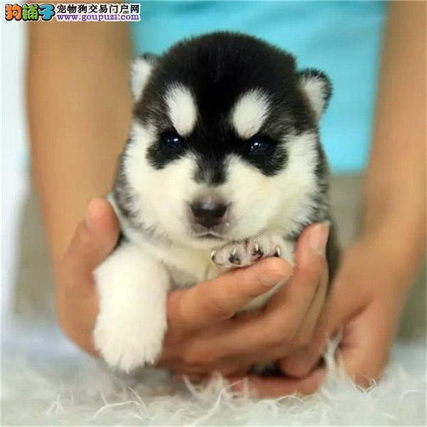 三火双蓝眼哈士奇幼犬出售 签合同保健康 精品品质