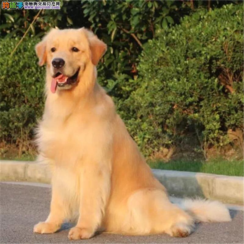 出售金毛幼犬 寻回猎犬 骨量大毛质好活泼可爱 包健康