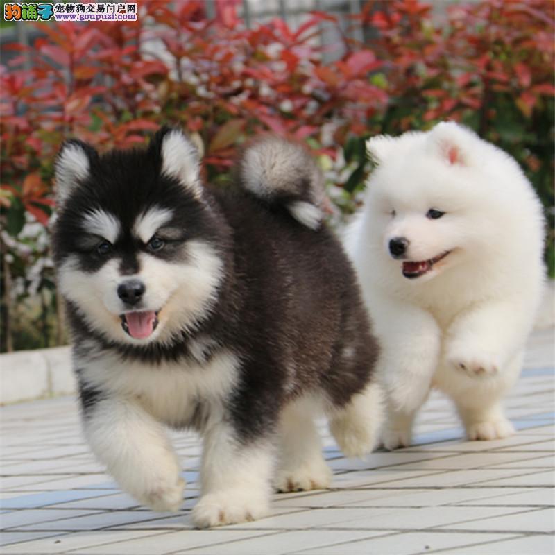 犬舍直销 高品质纯种阿拉斯加犬 雪橇犬 疫苗驱虫已做