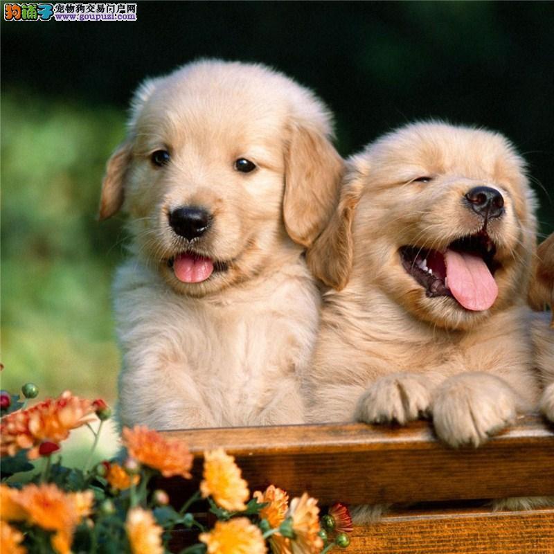 黄金猎犬金毛犬出售 品质养殖场直销金毛犬健康保证