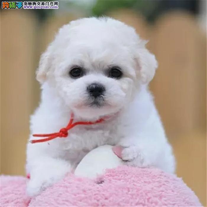 犬舍繁殖比熊 博美 泰迪 吉娃娃等小型犬可上门