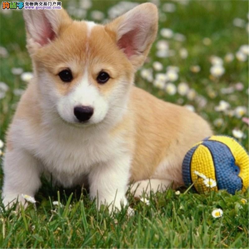柯基犬舍出售柯基幼犬短粗腿火车头 三色两色都有