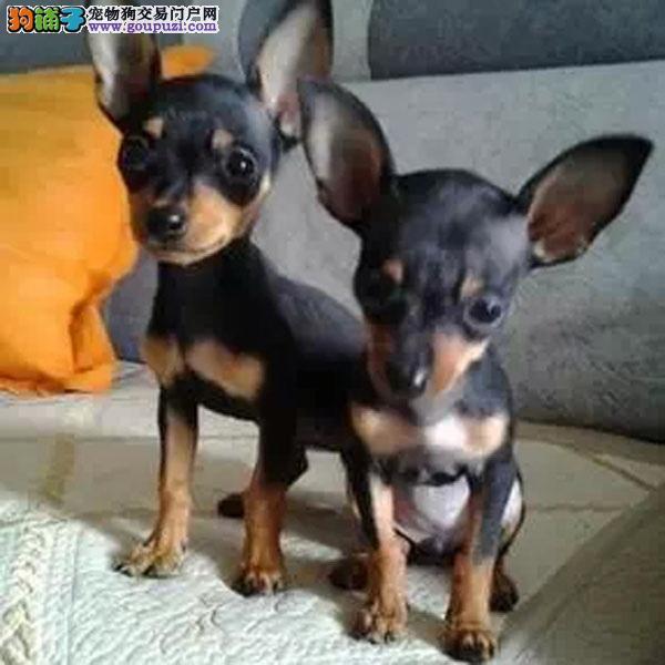 上海最大的小鹿犬犬舍繁育基地出售精品纯种小鹿犬