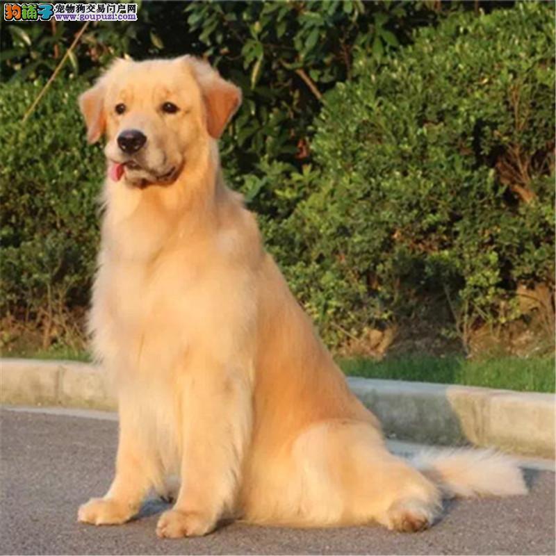 出售精品金毛犬、包纯种·保健康、带证书,可上门