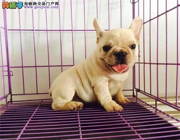 正规犬舍繁育 纯种英 法国斗牛犬 法斗签协议有保障