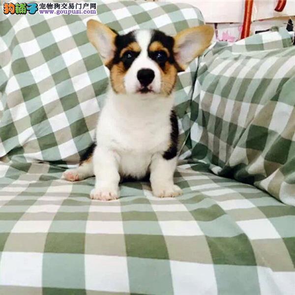 长期繁殖小短腿三通柯基幼犬 纯种名犬 包养活签协议