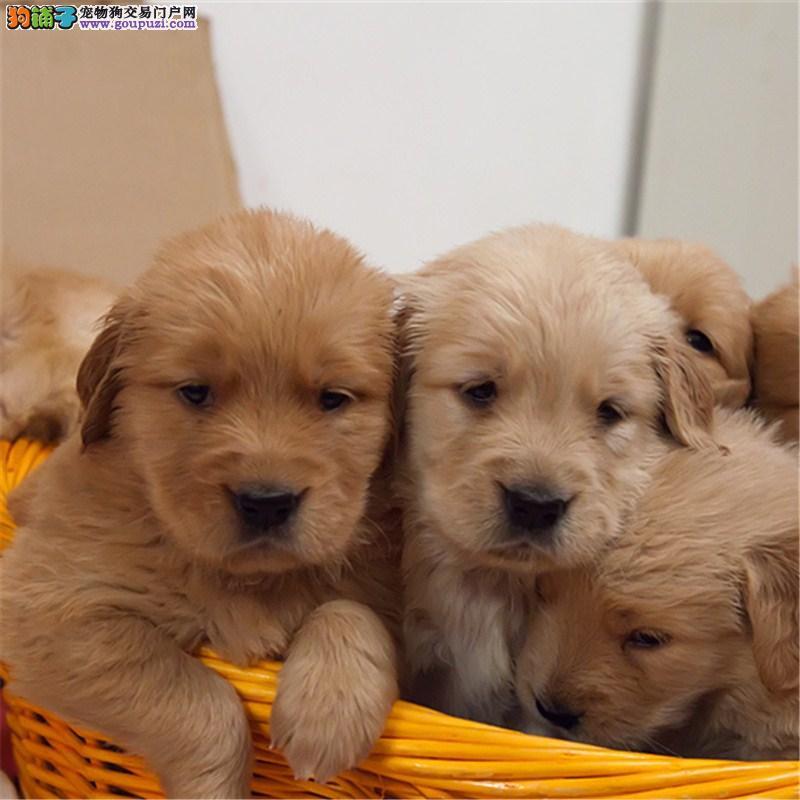 自家繁殖纯种金毛幼犬正规犬舍专业繁殖 疫苗齐