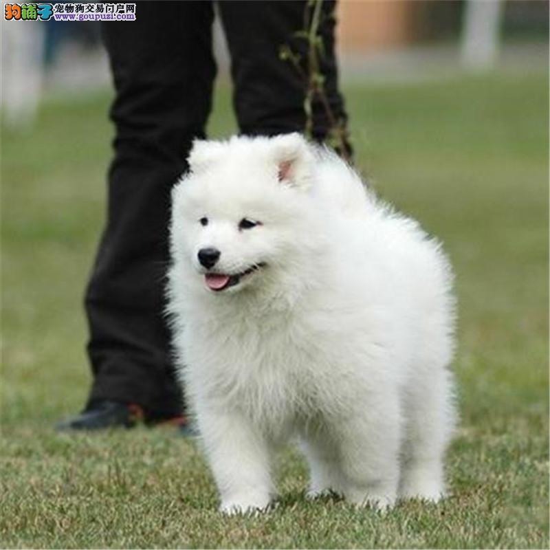 出售精品萨摩耶幼犬、包纯种·保健康、带证书,可上门