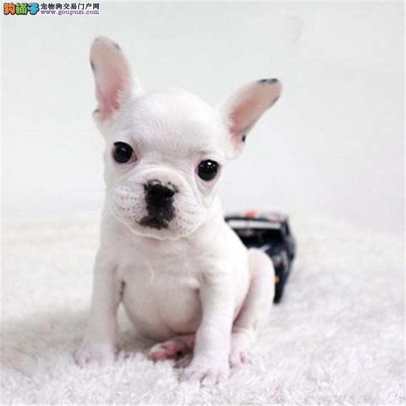 出售纯种法国斗牛犬,法斗宝宝品质保证健康保证