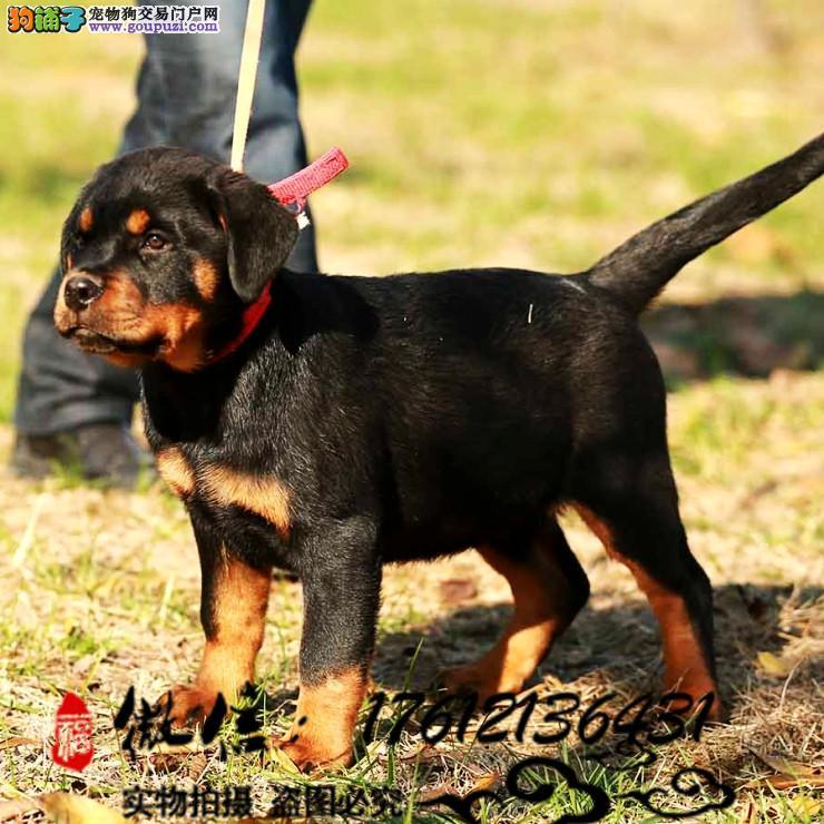 长期繁殖大骨量罗威纳 幼犬纯种名犬 包养活签协议