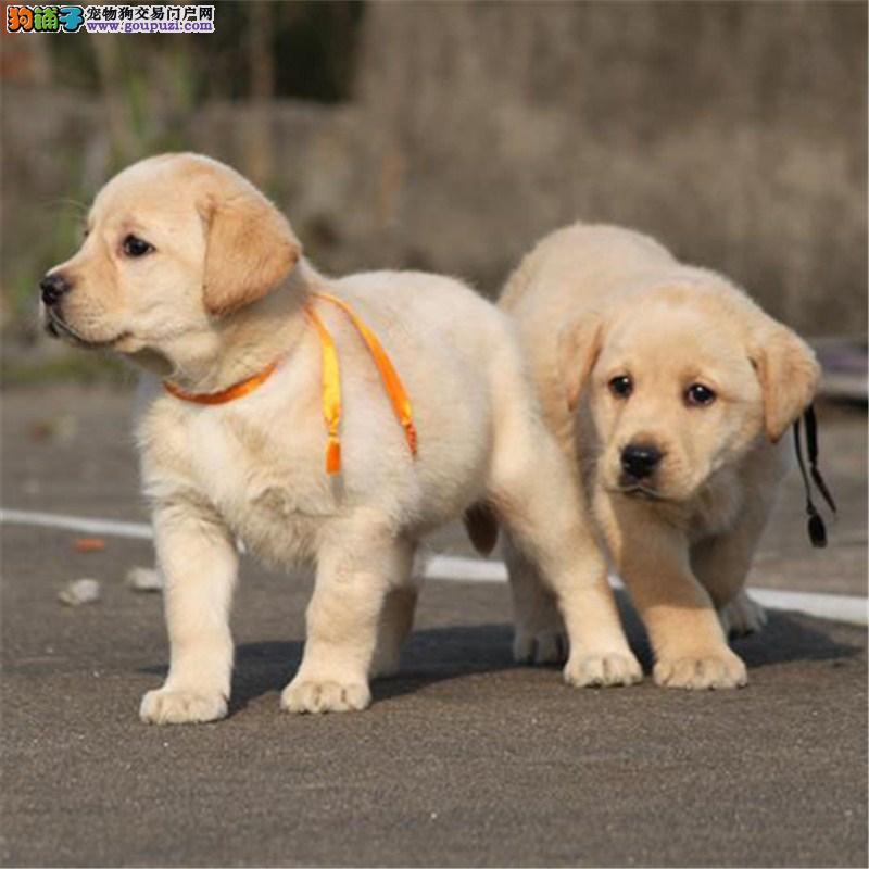 出售忠厚老实的小拉布拉多导盲犬幼犬 庭伴侣犬