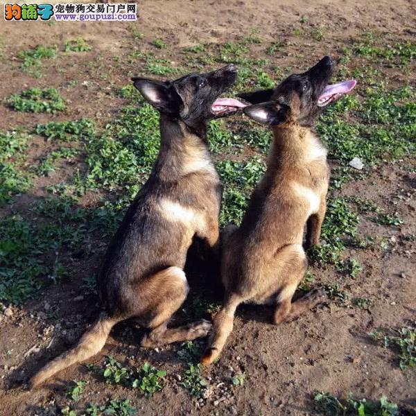 长期繁殖比利时纯种马犬 各类纯种名犬 包养活签协议