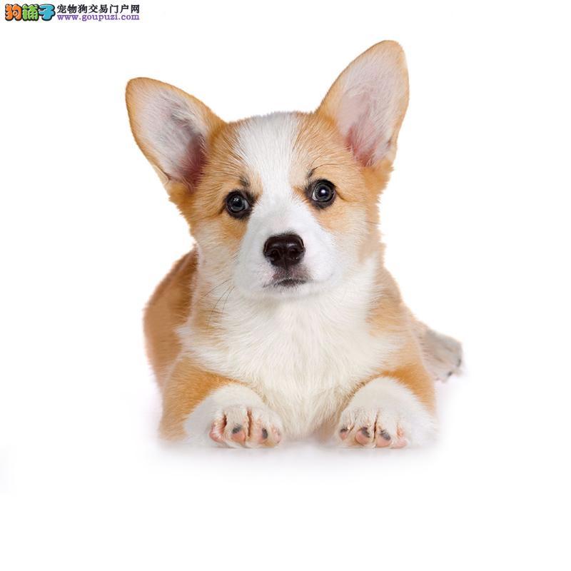 精品纯种柯基犬幼犬出售健康保障疫苗齐全 包售后
