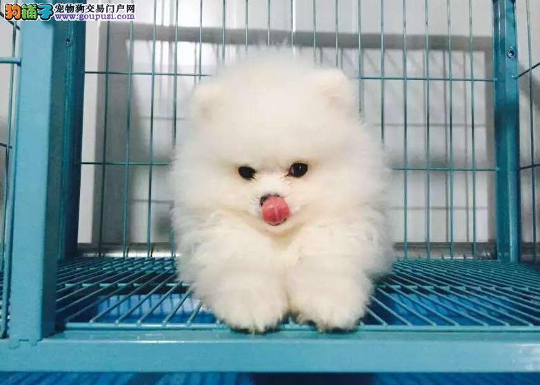 顶级哈多利博美~俊介幼犬~疫苗齐全协议质保送货上门