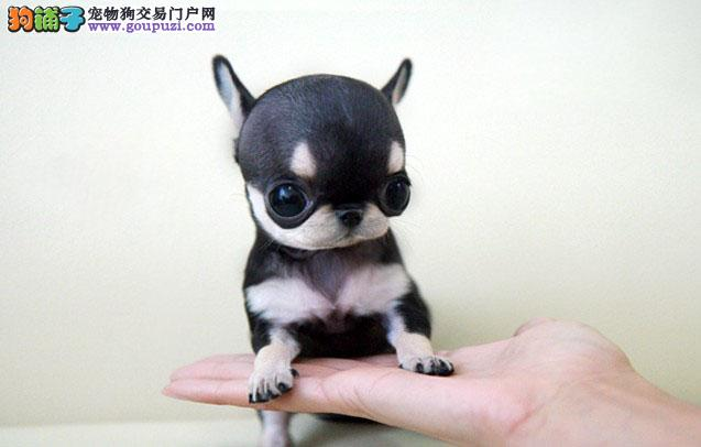 纯种吉娃娃幼犬~疫苗齐全协议质保签订协议 包养活