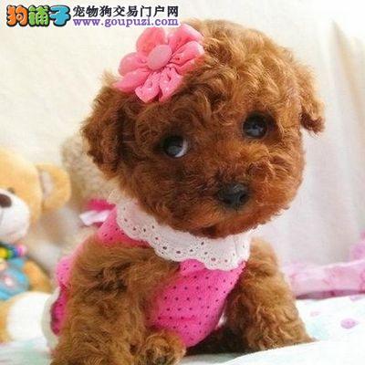 出售纯种健康泰迪熊 签协议品质保终身 可见狗狗父母