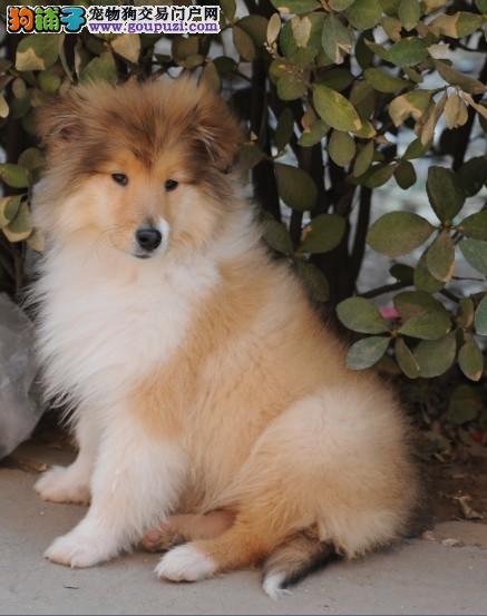 犬舍出售纯血统高品质苏牧犬 公母都有 签协议。