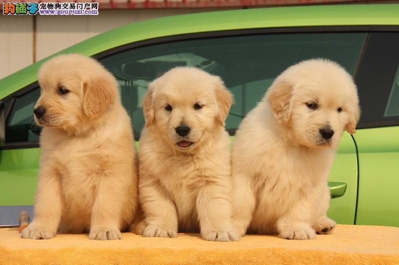 出售大骨架,宽嘴巴的纯种金毛 高品质金毛幼犬