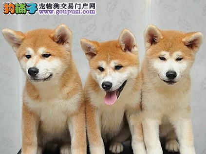 出售顶级血统秋田犬、不经过任何第三方中介、带证书