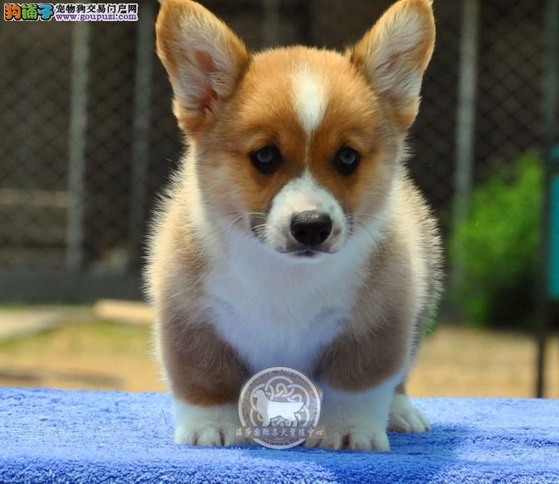 出售威尔士级柯基幼犬品相好健康有保障 可签购协议