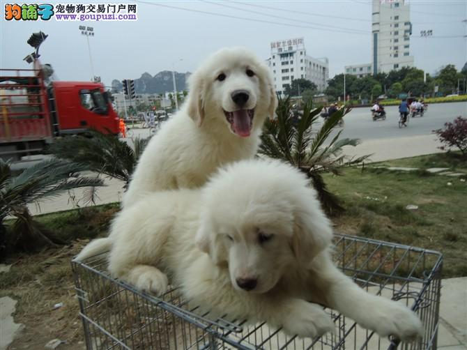 德国引进血统大白熊 纯种瑞士犬 公母都有可办狗证