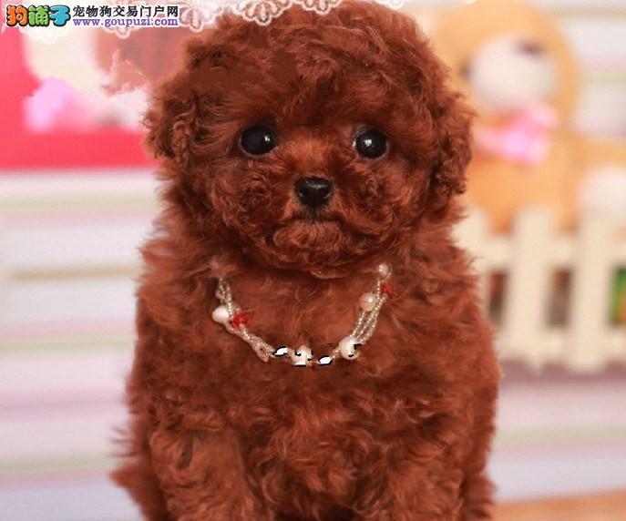 自家狗场繁殖、自家出售、品质第一、健康第一、贵宾犬