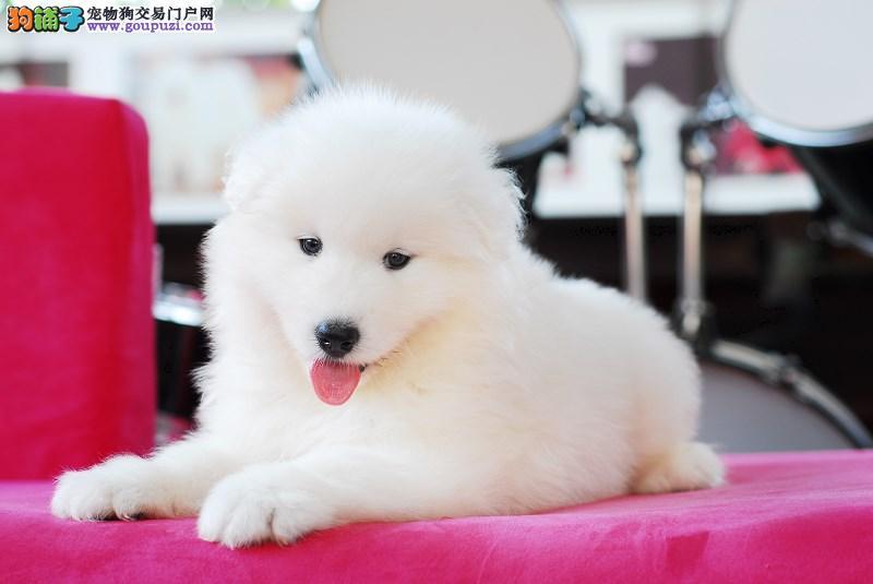 狗场繁殖 萨摩犬  赛级品质 健康质保 成都萨摩耶
