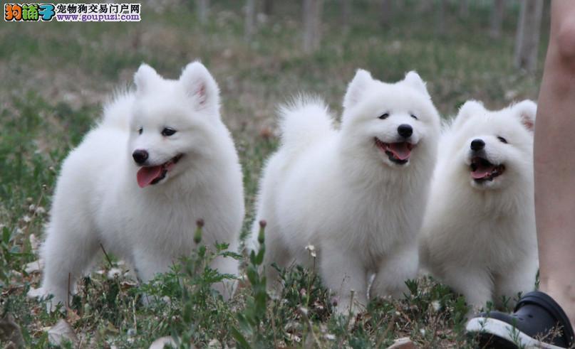 纯种澳版萨摩耶幼犬、一身雪白、微笑天使、健康保障