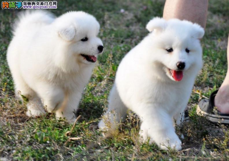 微笑天使、纯种澳版美版萨摩耶幼犬、纯正血统、雪白犬