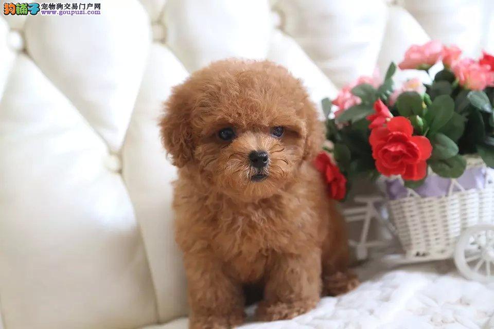 纯种健康的泰迪幼犬、小体型、红色苹果脸、血统纯正