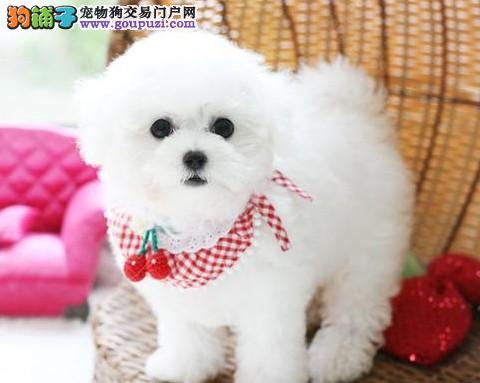 纯种卷毛犬、雪白比熊幼犬、大眼睛圆脸、纯种健康保障