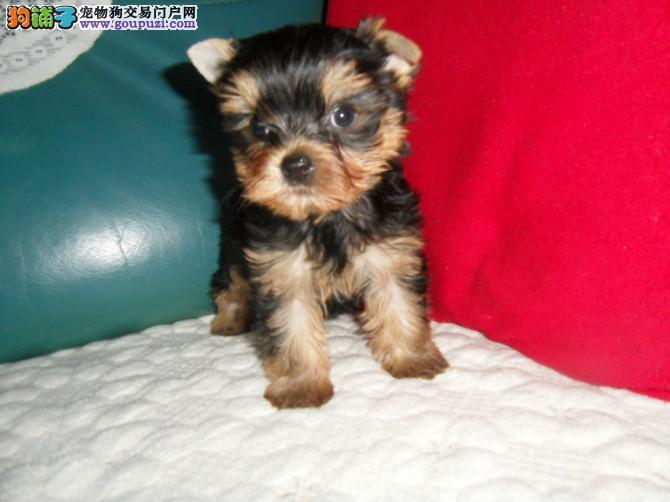 精致小体、约克夏幼犬、金头银背、血统纯正、健康保障