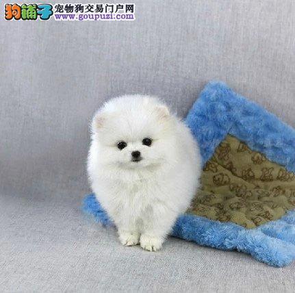 纯种白色犬、博美幼犬、小巧玲珑、纯种健康品质有保障