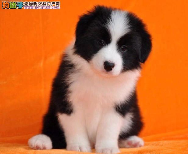 犬舍直销纯种七百三通边牧幼犬、血统纯正、健康有保障