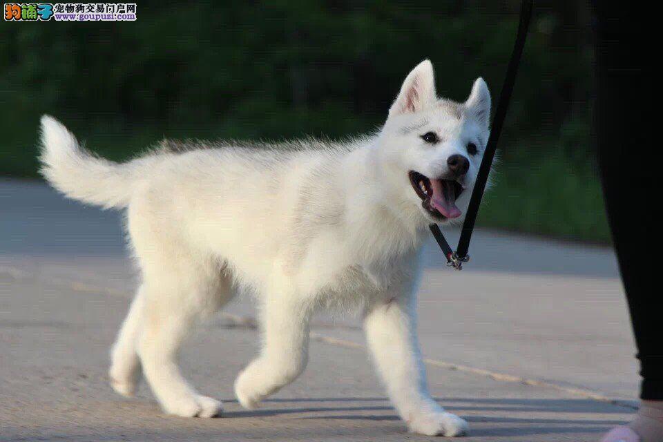 纯种哈士奇雪橇犬、健康纯种、精品哈士奇、健康保障